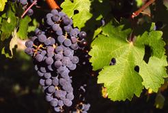 Saiba mais sobre a uva Cabernet Sauvignon