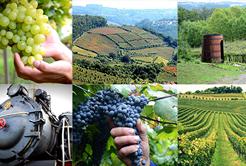 Saiba mais sobre os vinhos produzidos em Bento Gonçalves